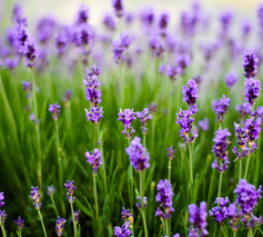 We Recommend - As Rosemary is to the Spirit, so Lavender is to the Soul